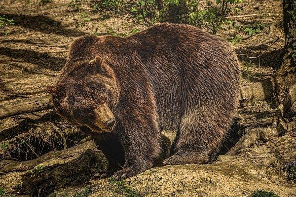 Mrki medved se vratio na Staru planinu
