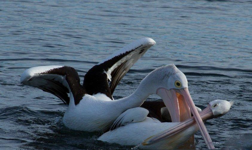 Пеликани на Дунаву после 100 година!